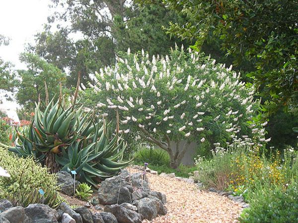 4.Aesculus-Californica